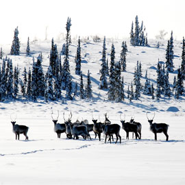 Image - Laurier Cold Regions Research Centre to host lecture on caribou decline in Northwest Territories