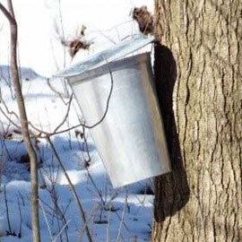 Experience Indigenous history of maple syrup through a sugar bush workshop